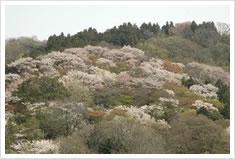 高安山の山肌を染める花